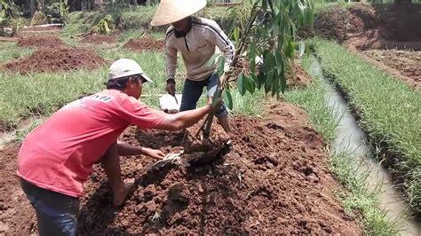 Jahe yang ditanam pada lahan terbuka umumnya ditanam dalam jumlah yang besar. cara menanam durian di lahan bekas sawah - YouTube