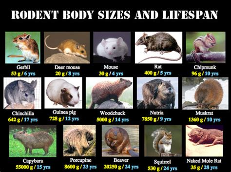 Rodents Most Populous Group of Mammals Animal Pictures