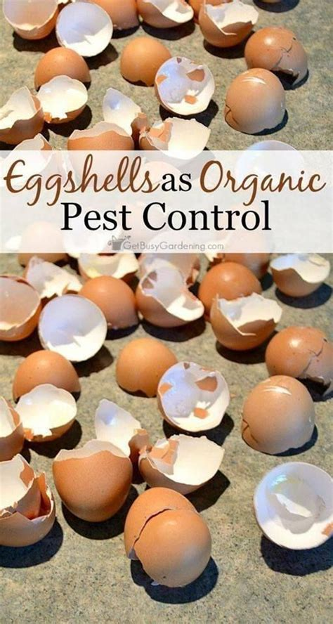 And finally, grounds do nothing for disease resistance. Used coffee grounds + crushed dry egg shells = no blossom end rot in 2020 | Organic pest control ...