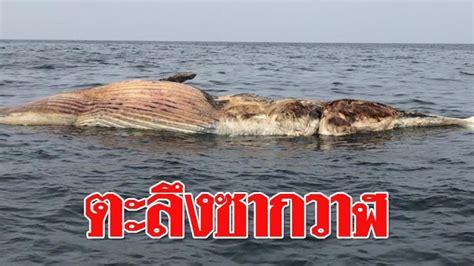 ตะลึง ซากวาฬบรูด้า ขนาดใหญ่มหึมา ไม่ต่ำกว่า 5 ตัน ลอยกลาง ...