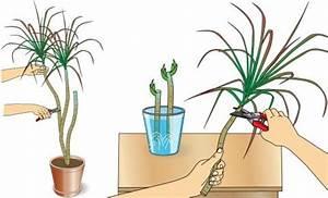 Drachenbaum Schneiden Video : drachenbaum pflanzen und pflegen mein sch ner garten ~ Watch28wear.com Haus und Dekorationen