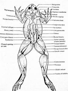 Frog Muscles Labeled Dorsal Muscles Parts Of A Frog Image