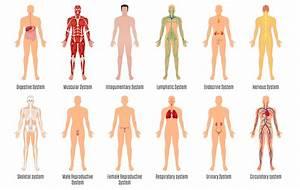 2a1 Organ Systems  U2013 Humanbio