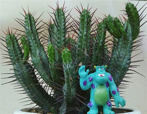 #euphorbia #enopla #mini3garden #succulents #cactus # ...