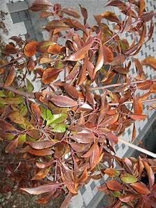 Kirschlorbeer Braune Blätter : glanzmispel hat dunkelrote bis braune bl tter ~ Lizthompson.info Haus und Dekorationen