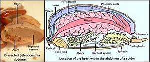 How To Draw A Heart Organ Simple
