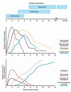 The Cellular  Biochemical  And Mechanical Phases Of Wound