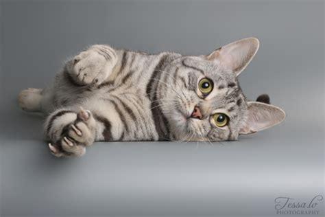 Eiropas īsspalvainais kaķis (European Shorthair)   DinoZoo