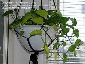 Epipremnum Pinnatum Neon images