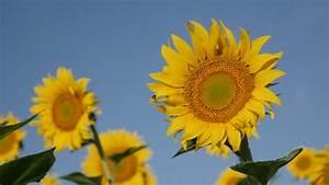 Ray Flower Of Sunflower