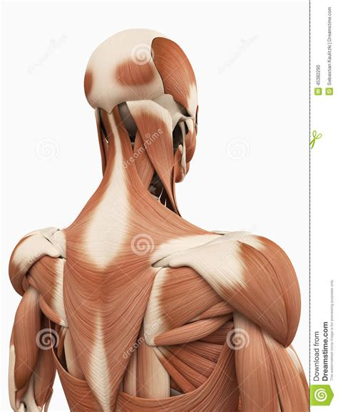 In the upper back region, the trapezius, rhomboid major, and levator scapulae muscles anchor the in addition to moving the arm and pectoral girdle, muscles of the chest and upper back work together as. The upper back muscles stock illustration. Illustration of ...
