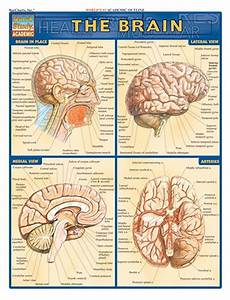 Barcharts The Brain Reference  U0026 Study Guide