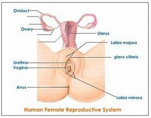 10 Interesting Female Reproductive System Facts