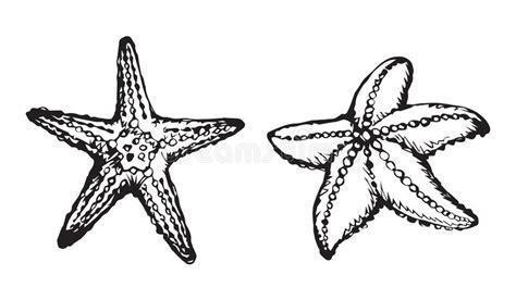 Echinodermata Stock Illustrations 55 Echinodermata Stock