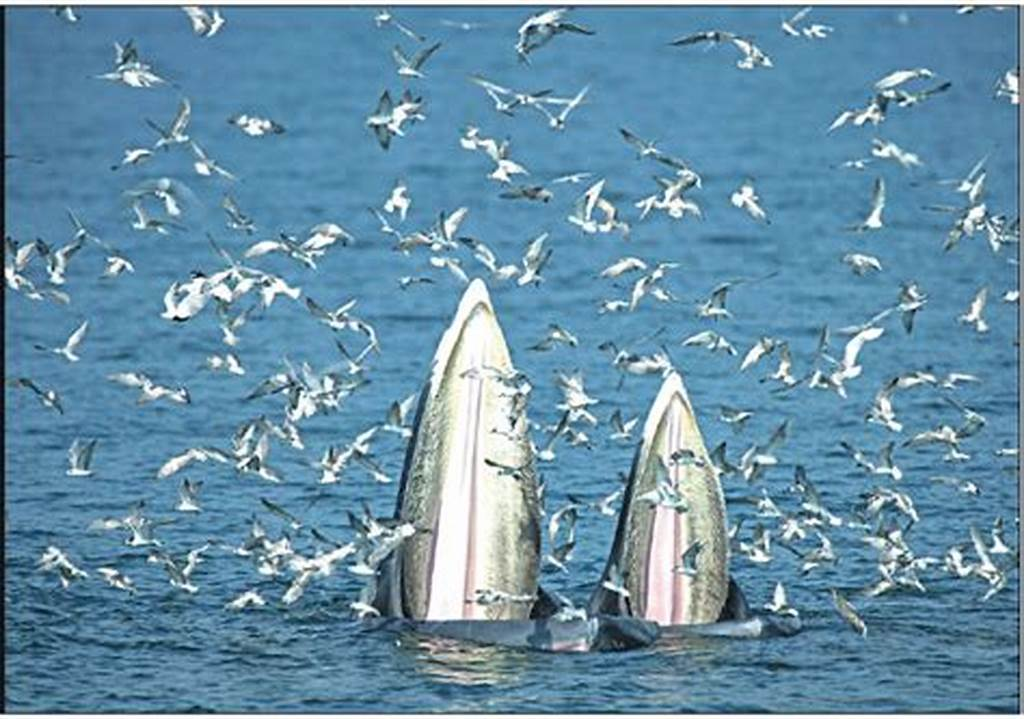 #A #Female #Bryde #S #Whale #And #Her #Calf #Feed #On #Anchovies #In