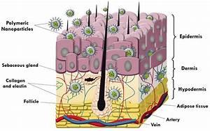 Schematic Description Of The Layers Of The Skin  Epidermis