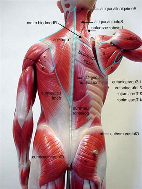 The different anatomical areas of the gluteal region: Human Lower Back Muscles Anatomy Photo | Muscle anatomy ...