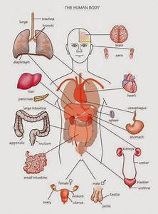 Human U0026animal Anatomy And Physiology Diagrams  Human Body Parts