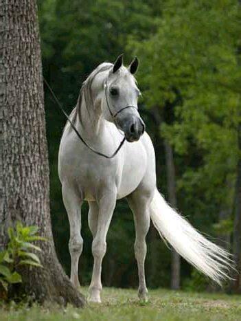 foto de Pokochaj Konie: Konie czystej krwi arabskiej : )