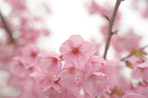วอลเปเปอร์ : ดอกไม้, เบ่งบาน, สีชมพู, ดอกซากุระ, ฤดูใบไม้ ...