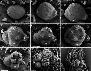 Inflorescence Development In Partially Ebracteolate
