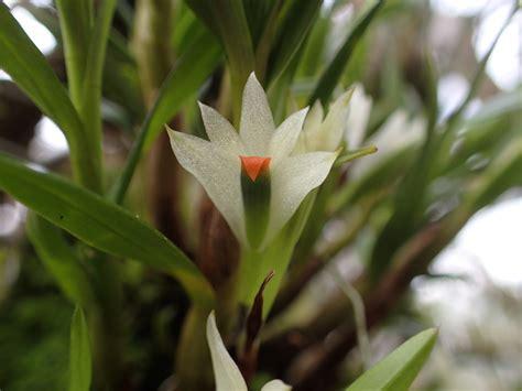 Dendrobium sulphureum | Orchids Forum