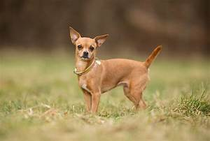 Animals Chihuahua Dog Images Latest New Photos