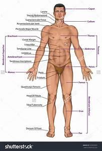 Male Human Anatomy Diagram   Male Human Anatomy Diagram