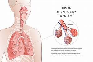 Human Respiratory System  Lungs  Alveoli  Medical Diagram  Inside Larynx Nasal Throttle Anatomy
