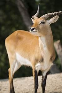 Afrikan Antilope : african antelope species ~ A.2002-acura-tl-radio.info Haus und Dekorationen