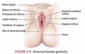Anatomy Of Vulva And Perineum