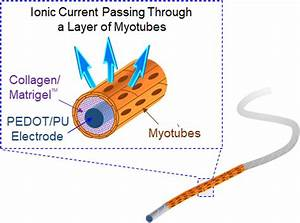Schematic View Of The Skeletal Muscle Bundle  Which Is
