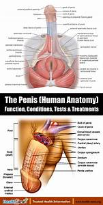 The Penis  Human Anatomy   Diagram  Function  Conditions