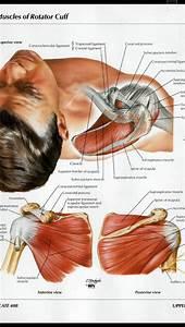 Shoulder Muscles Diagram