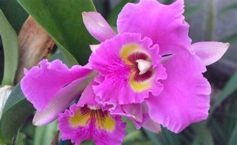 Trīs Kalves Amerikā: Orhidejas