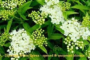 Spiraea Japonica Albiflora Japanese White Spirea
