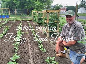 Hd How To Grow Baby Lima Beans By Direct Sowing Seeds