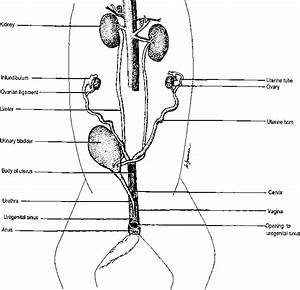 Reproductive System Male Cat Anatomy