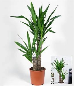 Yucca Palme Winterhart : yucca palme ca 70 cm hoch 1 pflanze g nstig online kaufen ~ A.2002-acura-tl-radio.info Haus und Dekorationen