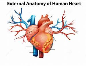 Anatomy Heart Quizlet