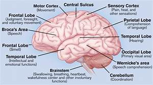 Drawn Brain Labeled Part