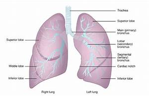 Anatomy Of The Respiratory System Exercise 36