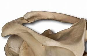 Upper Extremities Bones