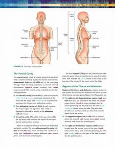 Right Hypochondriac Region Organs