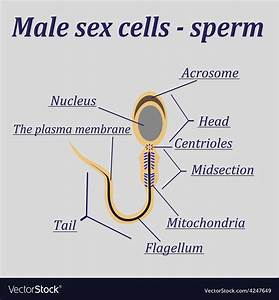 Diagram Of The Male Sex Cells