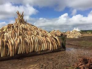 Kenya will destroy $100M of elephant ivory this weekend in ...