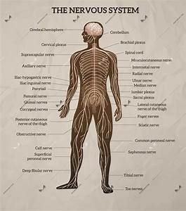 Human Body Central Brain Spinal Cord And Peripheral