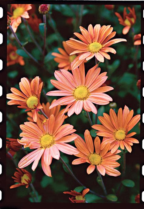Beginner's Guide to Chrysanthemums | Southern Living