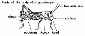 30 Diagram Of A Grasshopper With Label