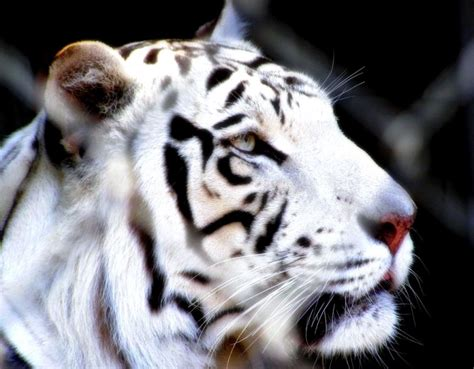 Tigre blanco, de aravind adiga. tigre blanco de singapur   Wallpapers gratis - Imagenes ...